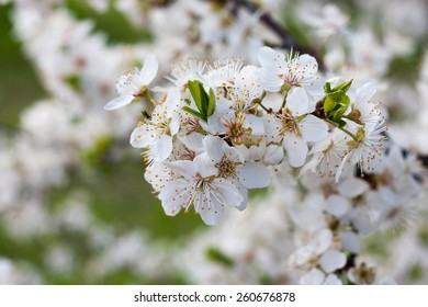 Nice cherry blossoms against a green background composed of leafs