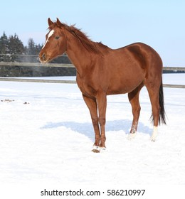 Nice chestnut horse on the snow in winter