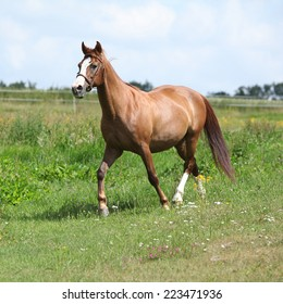 Nice chestnut horse running on meadow in spring