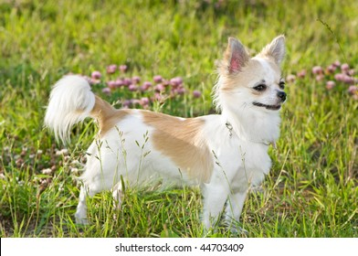 nice chihuahua among green grass and flowers on a sunny summer day