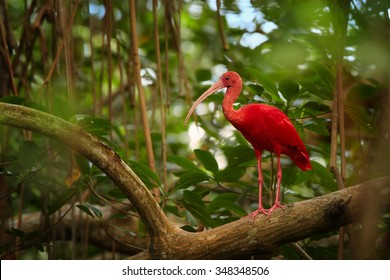 Nice close up photo of unique and shy Scarlet Ibis Eudocimus ruber in its typical natural environment in mangrove forest of Trinidad. Blurred green forest as background. Caroni swamp, Trinidad.