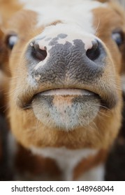 nice close-up of the head of a light brown cow with accentuation of the nose and of the mouth