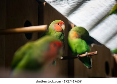 Nice color Lovebird sitting in cage nature birds and pets