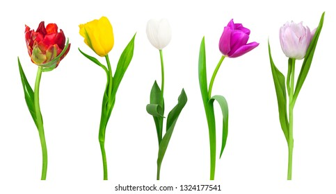 Nice coloured tulips isolated on a white background