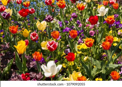 A nice colourful field full of purple, pink, yellow, red, orange and white garden pansies (Viola) and tulips like the Golden Apeldoorn, Tulipa Negrita and Tulipa Monte Carlo.