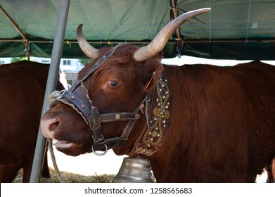 Nice cow of Salers breed, native of Cantal, of the Auvergne region.