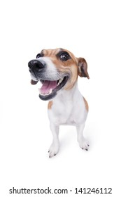 nice, cute dog Jack Russell terrier with pleasure looks at the camera and smiling. Chuckle. trick. emotional animal