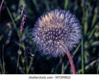 nice dandelion - Shutterstock ID 597399815