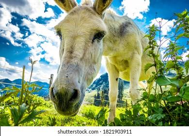 nice donkey at the european alps - photo