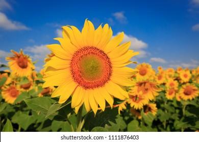 nice farming field with sunflowers