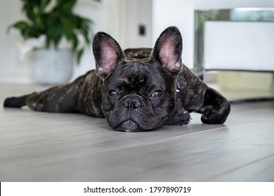 Nice French Bulldog brigee while resting