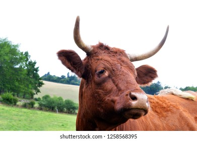 Nice french mountain cow, Salers breed (Auvergne region). Cow for making cheese.