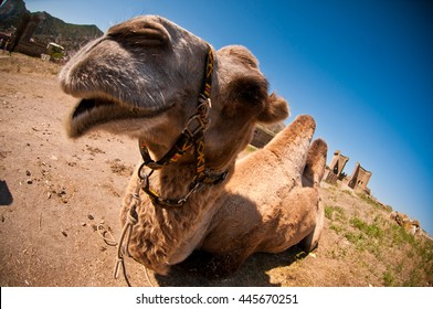 nice funny camel looks to camera