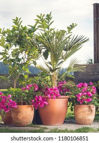 nice garden situation containing flowers, tropical plants Bougainvillea, citrus, palm, fig tree planted in containers or terracota pots