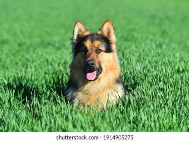 a nice german shepherd dog in a green field