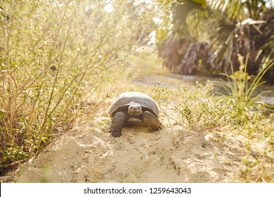 nice gopher tortoise front photo under sunny day in Florida Bonita Spring Nature place