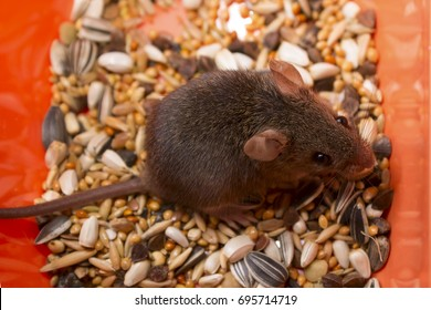 A nice gray house mouse sits in an orange plastic box on a scattered stern of a mixture of grains and seeds