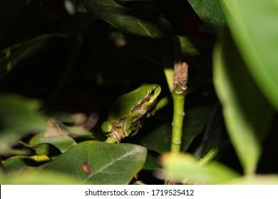 Nice green amphibian European tree frog, Hyla arborea.