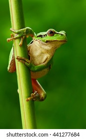 Nice green European tree frog, Hyla arborea, sitting on grass with clear green background. Beautiful amphibian in the nature water grass habitat.