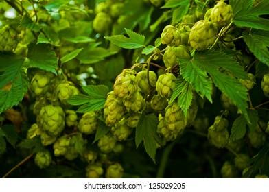 nice green hops before harvesting
