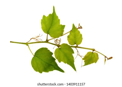 Nice green ivy isolated on white background. branch of ivy isolated.