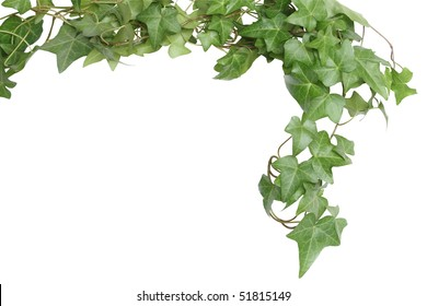 Nice green ivy isolated on white background with clipping path