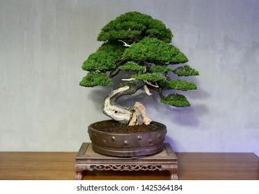 Nice green leaf of bonsai