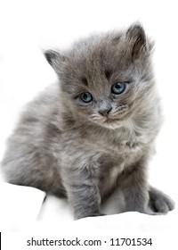 Nice grey kitten