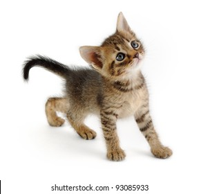 nice grey kitten looking up, very graceful, white background