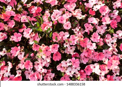 nice group of pink flowers