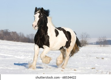 Nice gypsy horse running through snowy landscape