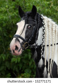 Nice gypsy vanner stallion looking