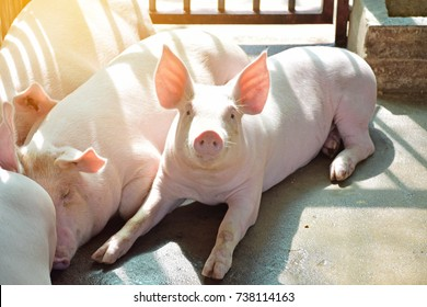 The Nice and happy pig very clean in the farm. Pig enjoy sunrise. The healthy pig.