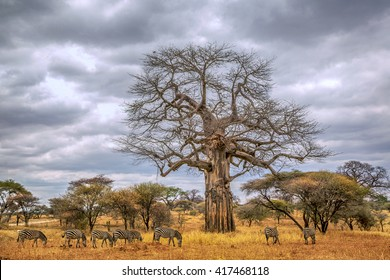 Nice HDR image of few zebras playing the fields of Tarangire National Park in northern Tanzania, Africa.