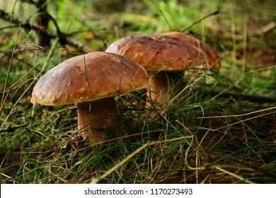 Nice healthy edible autumn mushroom (Boletus edulis) on forest floor