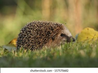 Nice hedgehog in the garden in autumn