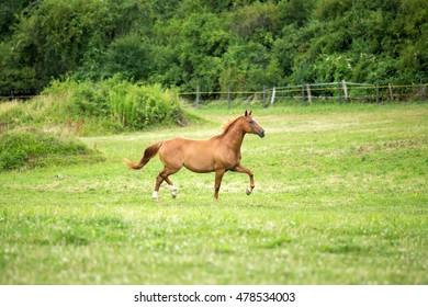 Nice horse running on pasture