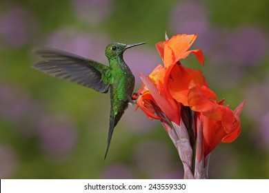 Nice hummingbird Green-crowned Brilliant, Heliodoxa jacula, flying next to beautiful orange flower with ping flowers in the background, La Paz, Costa Rica.