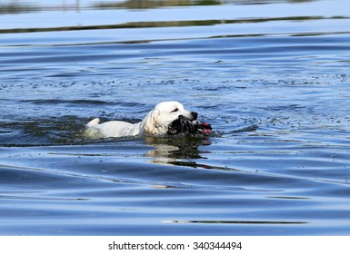 a nice hunting yellow Labrador retriever dashes back to the hunter after retrieving a duck