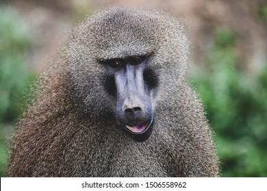 Nice image of guinea baboons. Animal photo