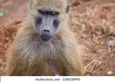 Nice image of guinea baboons family. Animal photo