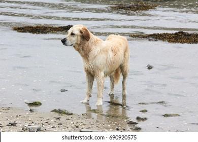 nice irish dog in the water