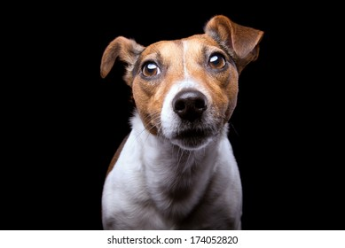 Nice Jack Russel terrier dog is isolated on a black background. Animal portrait. Playful dog is on a colorful background. Collection of funny animals