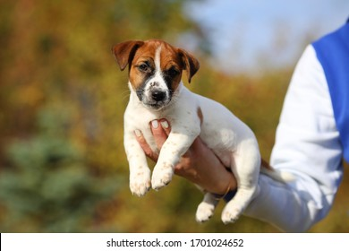 Nice Jack Russell Terrier puppy on a blurred autumn background in the arms of a man