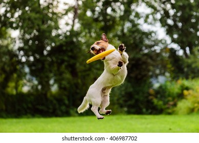 Nice jump by Jack Russell Terrier dog catching flying disk