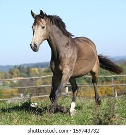 Nice Kinsky horse running on pasturage in autumn