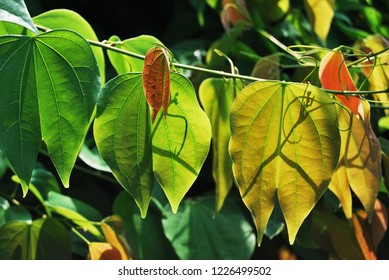 Nice leaves in the sunshine. Leaf background.