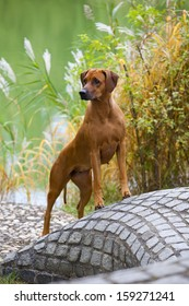 A nice looking black nosed Rhodesian Ridgeback female is standing on a stone wall