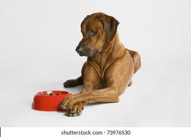 a nice looking rhodesian ridgeback dog is watching his food.