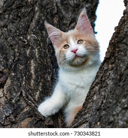 A nice maine coon kitten having big ears sitting on the tree.